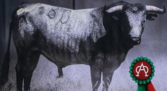 ISLA TERCEIRA Para la concurso de ganaderías