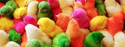 pollitos-pollos--511x240