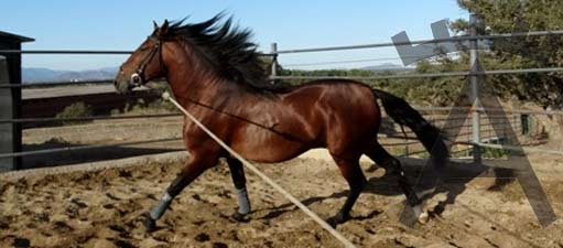 caballo-pura-sangre-lusitana-victorino-martin-511x225