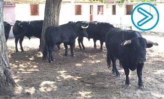 SORTEO BURGOS Castella, Perera y Roca Rey
