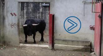 VIDEO Desembarque de los toros en Aire sur L'Adour