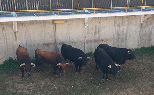 SORTEO ILLESCAS Seis toros de José Vázquez