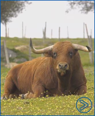 VIDEO Lisboa presenta sus ganaderías