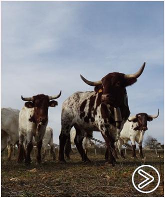 VIDEO Conoce la ganadería de El Uno