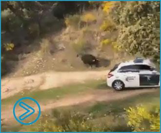 VÍDEO Tras escaparse de su cercado