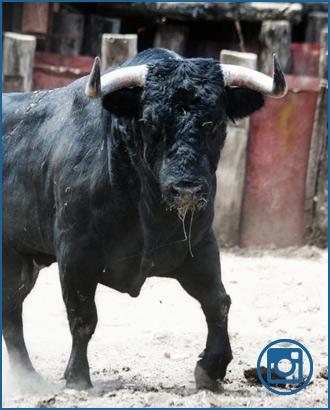 GALERÍA De los toros en el campo