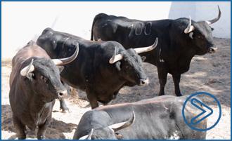 FRANCIA Vídeo de los toros en los corrales