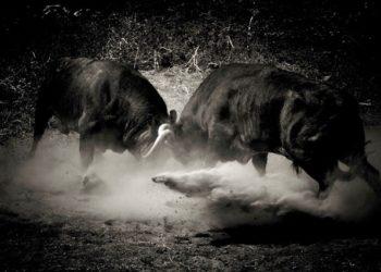 ganaderías, campo, campo bravo, toros, pelea,