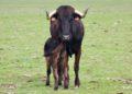 Vaca de Juan Luis Fraile con su cría