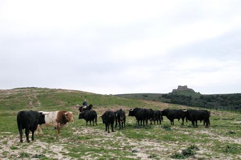 Toros de Torrestrella en la Finca Los Alburejos