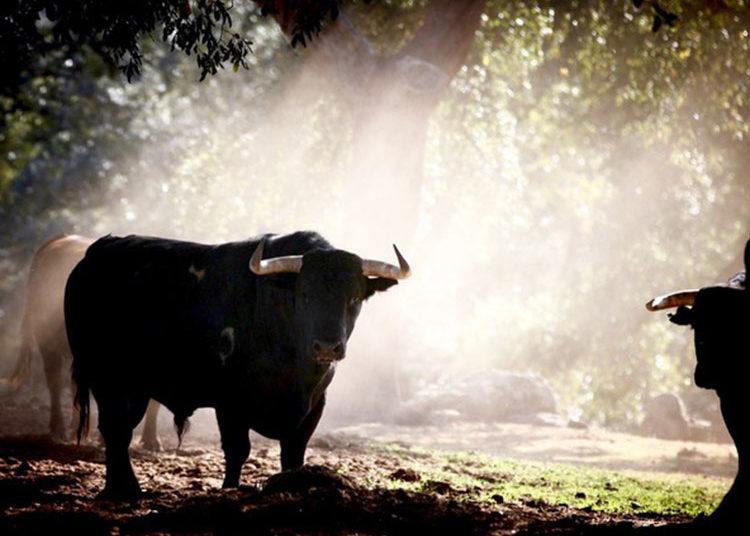 Toro, campo, dehesa