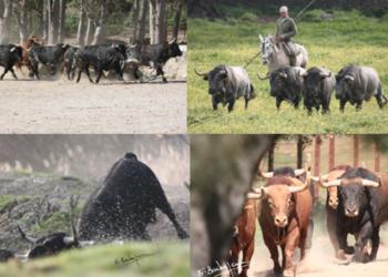 Todos los toros que iban a lidiarse en Vic Fezensac