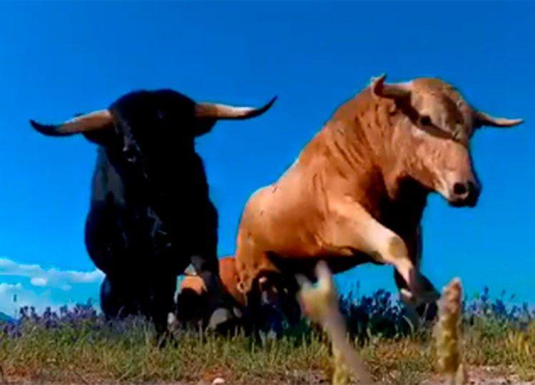 Toro bravo, campo, ecología taurina