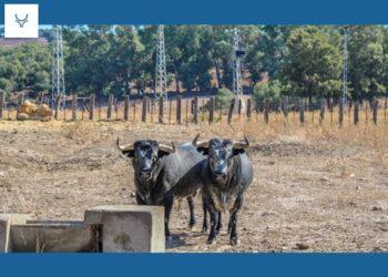 Lucas Carrasco te invita un tentadero de machos en la ganadería de Ana Romero