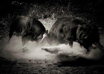 toros pelea Maurice Berho