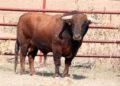 El Torero, Plasencia, toro, campo