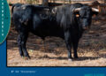Los toros de Manuel Blázquez reseñados para Fuengirola