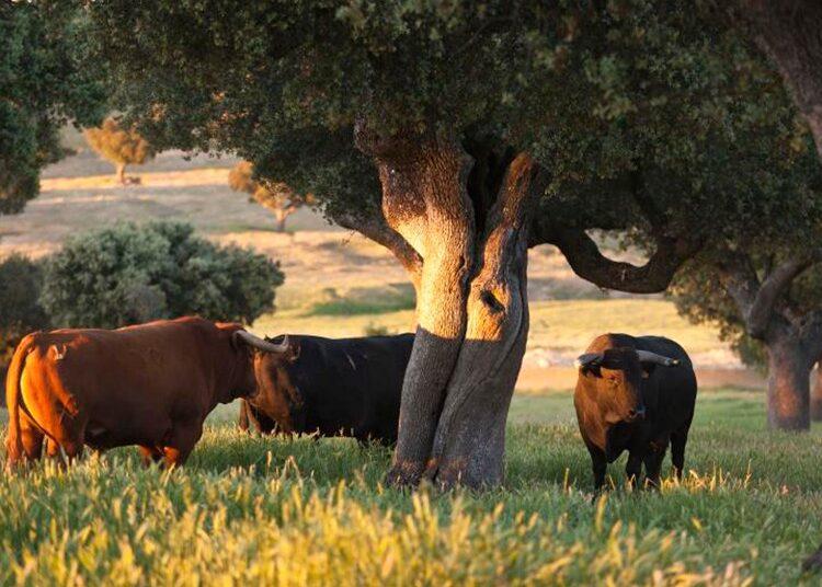 toro, campo, dehesa, Salamanca, mundo rural