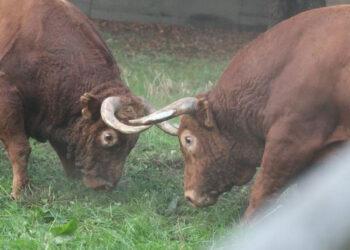 Desembarcados los toros de Pedraza de Yeltes para Dax
