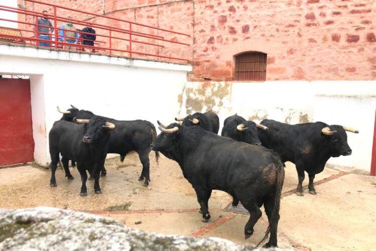 Toros de D. Ángel Sánchez y Sánchez en los corrales