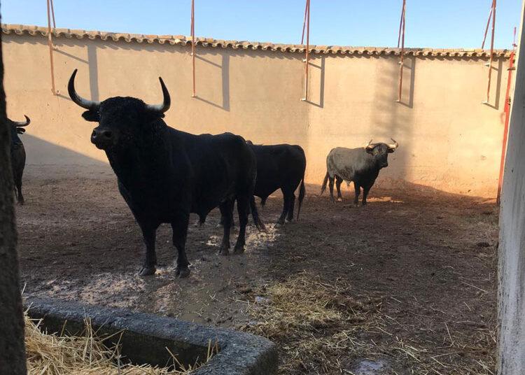 Desembarcados los toros de Fermín Bohórquez en Consuegra