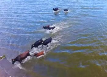 Toros nadadores en Tlaxcala