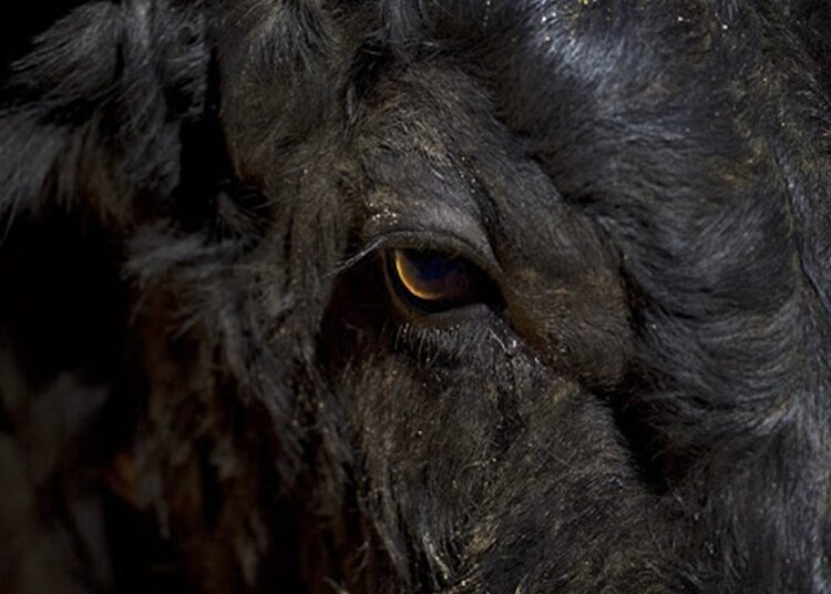 Raúl Duarte Toledo: 'El toro nace présbita, como si tuviera la visión de una persona de 40 años'