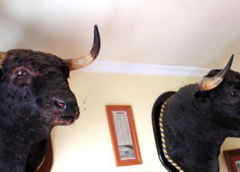 El futuro museo taurino de Burriana adquiere la cabeza del toro 'Avispado'