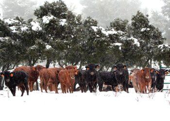 La ganadería de El Mijares en la 'Siberia valenciana'