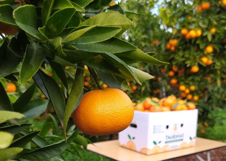 Naranjas Taurinas, Castellón, cítricos, naranjas
