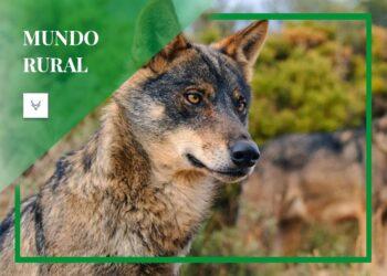 """Alianza Rural considera """"un ataque frontal al mundo rural y a la biodiversidad"""" incluir al lobo ibérico en las especies protegidas"""