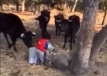 El respeto desde niño por cuidar el toro bravo
