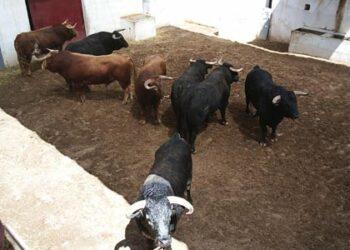 Toros en los corrales de Alicante I Archivo